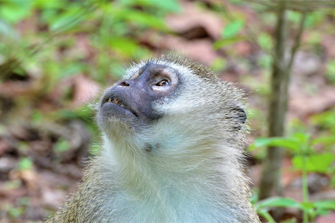 Vervet Monkeys are the most curious residents at Kuti Wildlife Reserve.