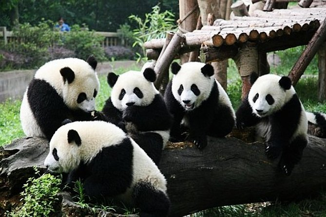All Inclusive Chengdu Giant Panada Base Private Day Tour from Guangzhou by Air