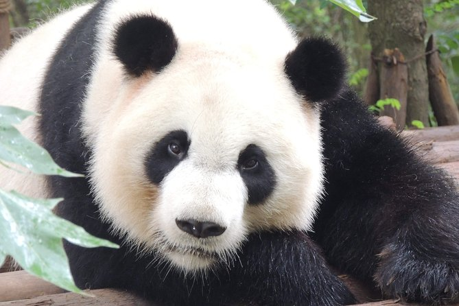 Chengdu Panda Base Day Trip from Beijing by Air plus Martial Marquis Temple
