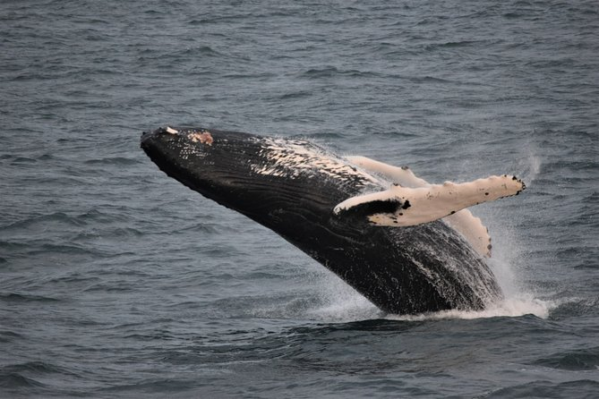 Reykjavik Shore Excursion: Whale-Watching Cruise