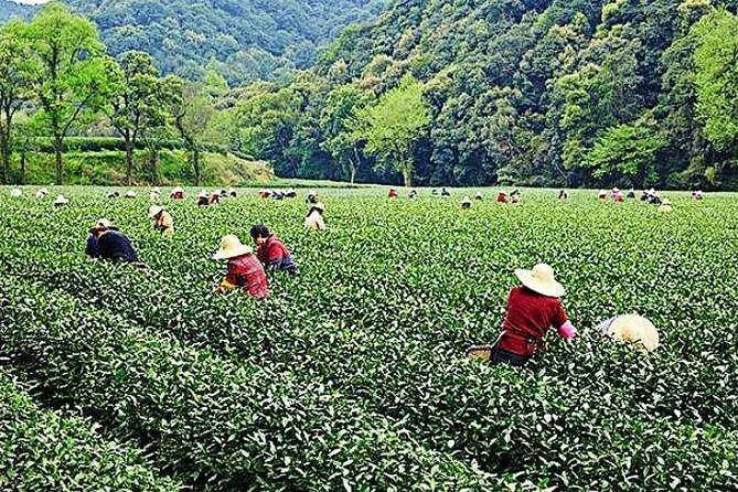Half-Day Hangzhou Nature Explore with Green Tea Village and Yunxi Bamboo Forest