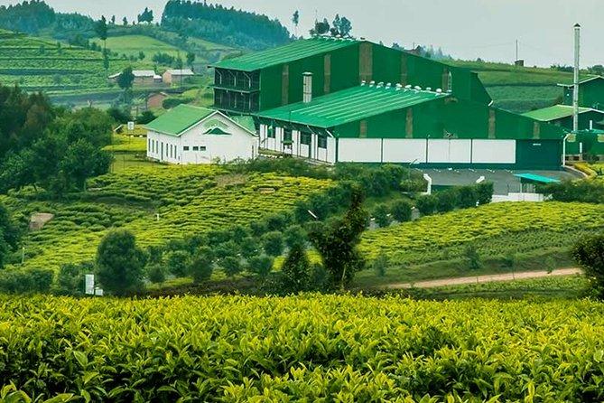 Darjeeling Tea Garden Tour