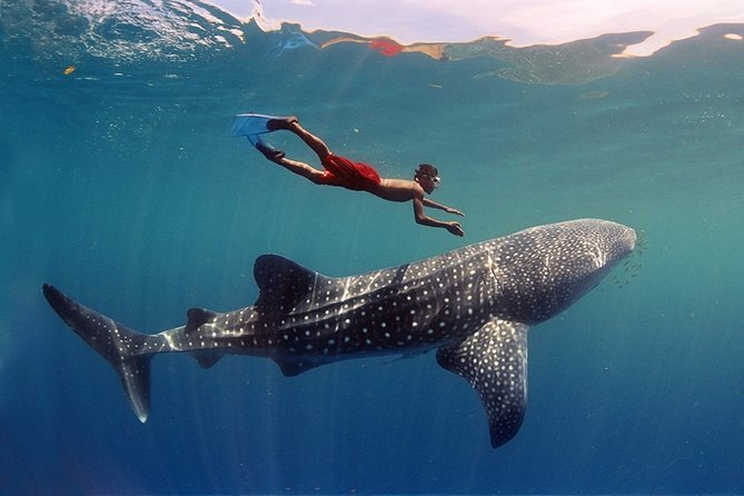 Maafushi: Whale sharks, Manta rays snorkeling and Dolphin watching