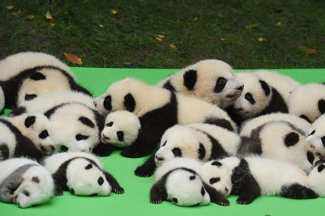 Private Chengdu Highlights Day Trip: Panda Base and City from Zhuhai by Air