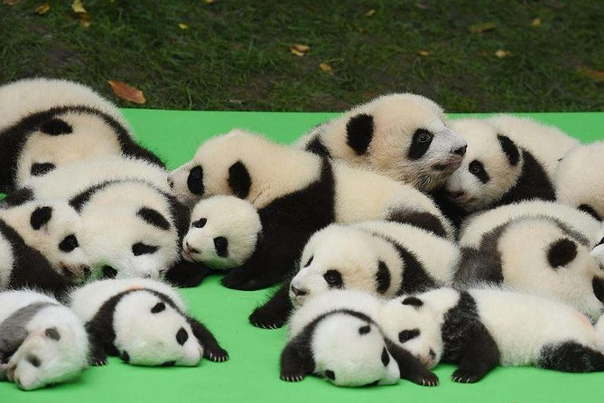 Private Chengdu Highlights Day Trip: Panda Base and City from Guilin by Air