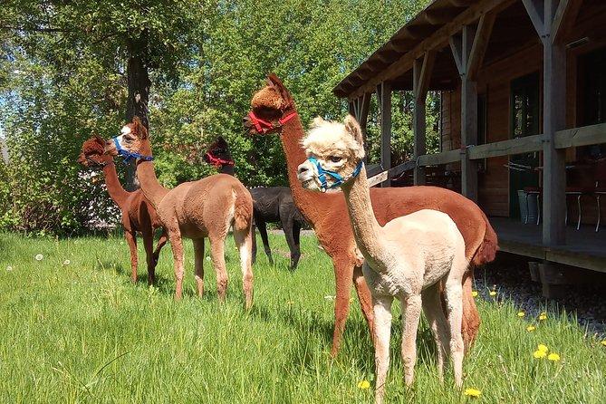 Alpaka Wanderung in der Barnimer Feldmark