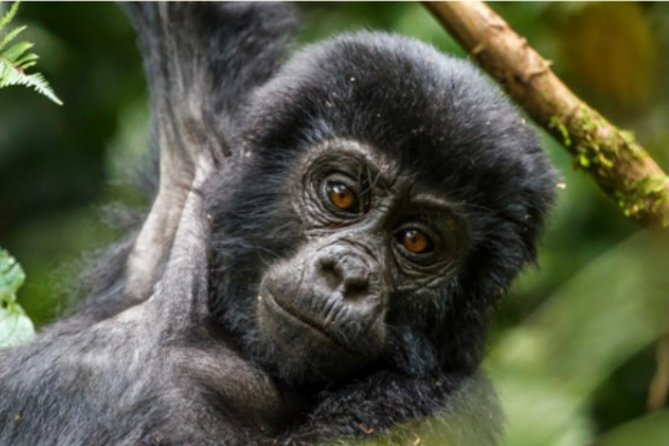 5 Days Gorilla, Chimpanzee trekking and Uganda wildlife adventure