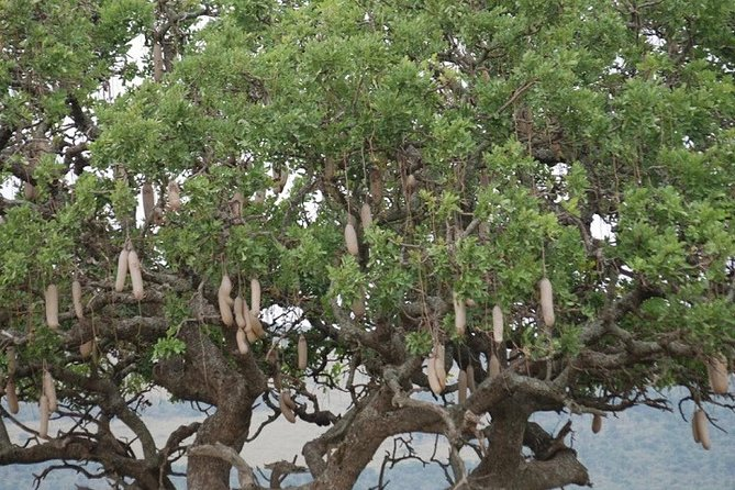 The Sausage tree in the Mara Reserve