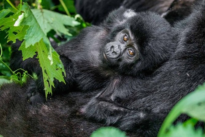 3-Day Gorilla Trekking in Bwindi National Park with Full Board