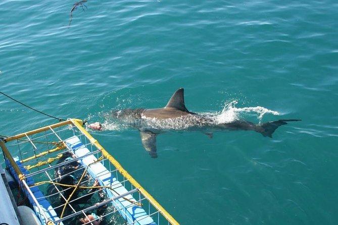 Best Shark Dive tour In Gansbaai : White Sharks, Bronze Sharks