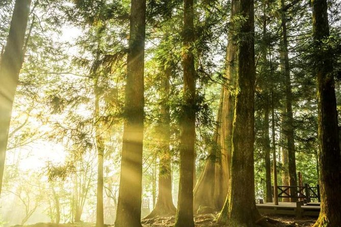 Explore thousand-year-old ancient Taiwan cypress trees along trails of the Alishan Forest Recreation Area