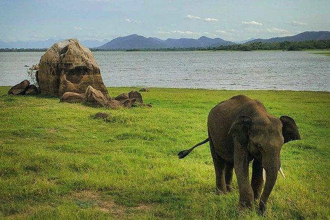 Evening Safari Drive at Minneriya National Park from Negombo