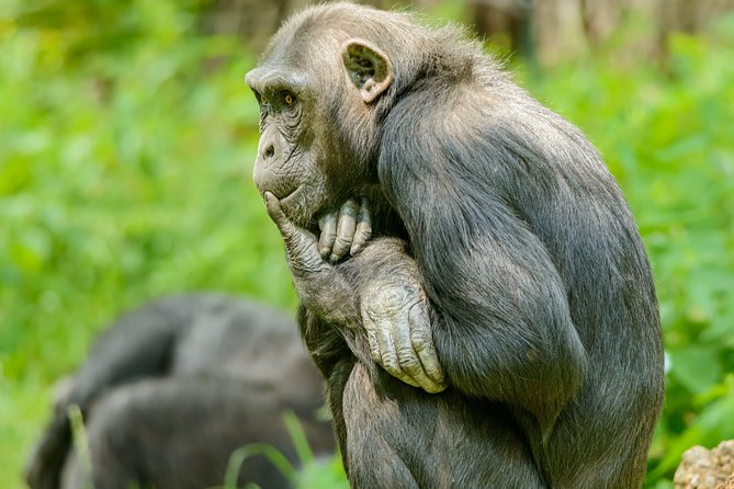 3-Day Chimpanzee Trekking Tour in Kibale National Park