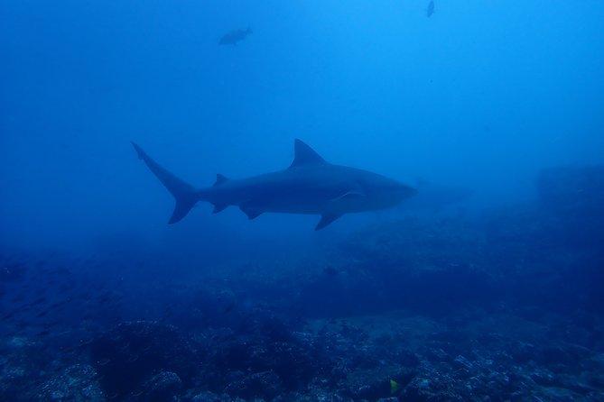 Bull shark dive