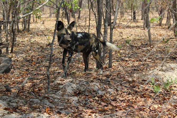 Hwange Day Trip and interaction with Painted Dogs