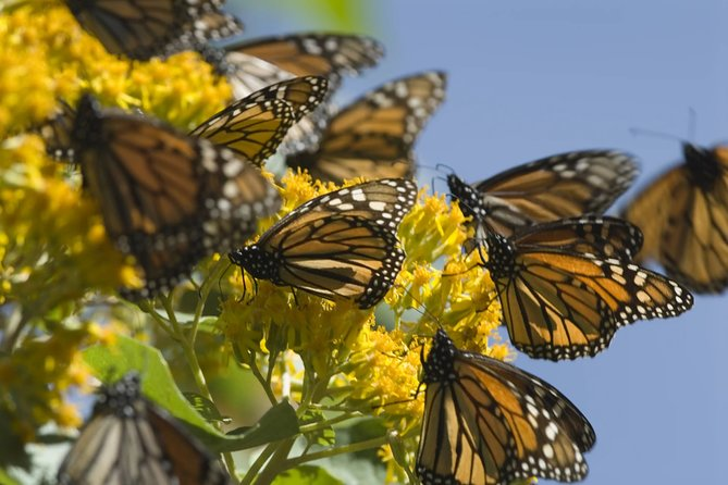 Monarch Butterfly from Morelia Michoacan