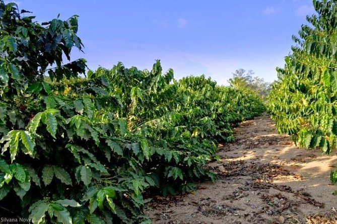 Sao Paulo: One Of The Oldest Coffee Farms – The Rural Charms Of Brazil – Private