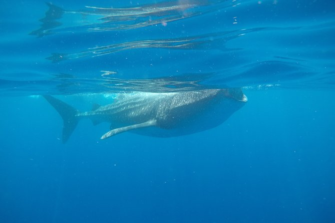 Exciting Swim with Whale Sharks Tour photo 10