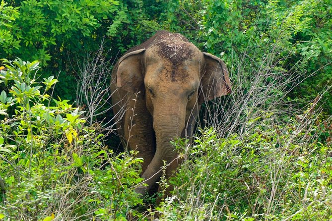 Afternoon Elephant Safari in Minneriya