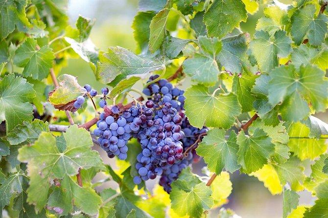 Archeology, visit to a vineyard and wine and pecorino cheese tasting