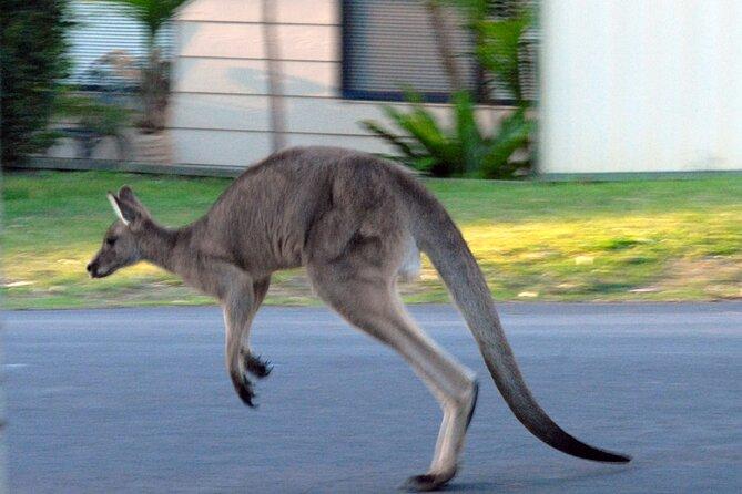 kangaroo hopping down the street