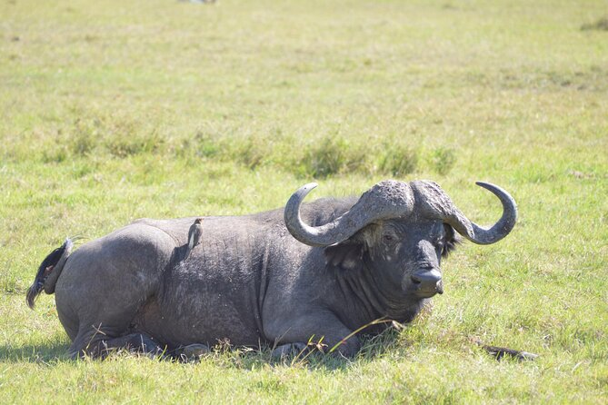 The Solitary Male African Buffalo with Ox Pecker taking the ticks from its body.