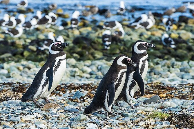 Half Day sailing to Magdlena Island Penguin Colony from Punta Arenas