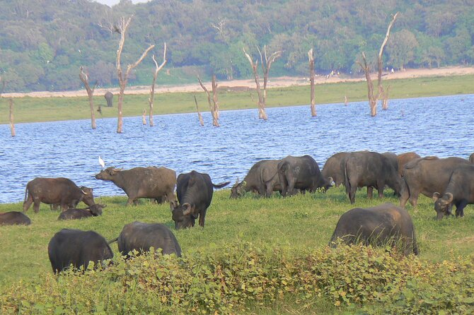 Evening Safari Excursion to Minneriya National Park