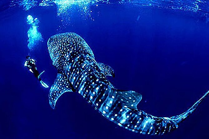Great Adventure Swim beside the Whale Shark in Cancún