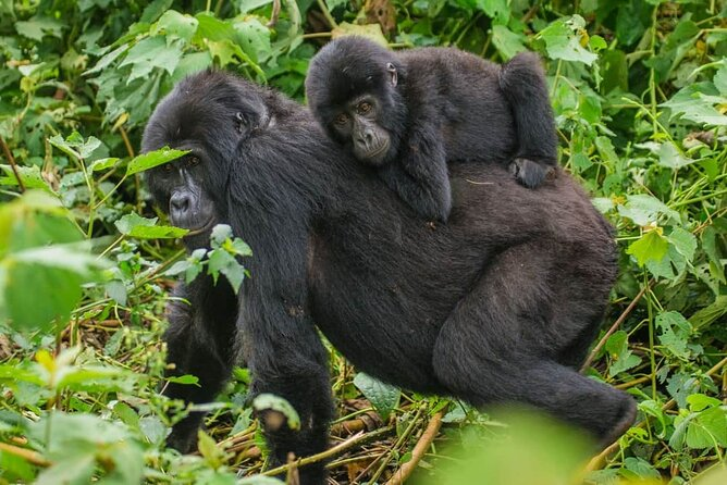4-Day Private Tour in Bwindi Forest National Park