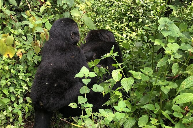 3 Day Gorilla Trek Midrange Tour at Bwindi National Park