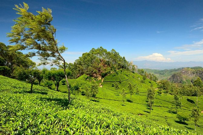 03 Day Nuwara Eliya & Ambewela Tour from Kandy