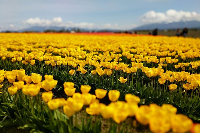 Skagit Valley Tulip Festival and Deception Pass - Private Luxury Day Tour