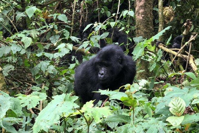 3 Day Gorilla Trekking Luxury Safari in Uganda