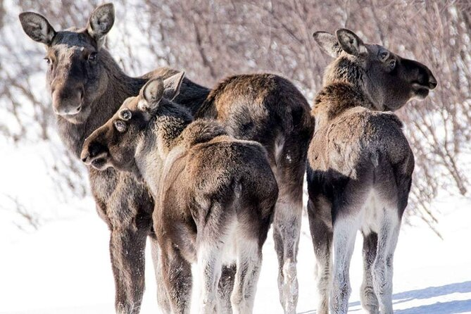Destination Snowman: Wild Moose Safari