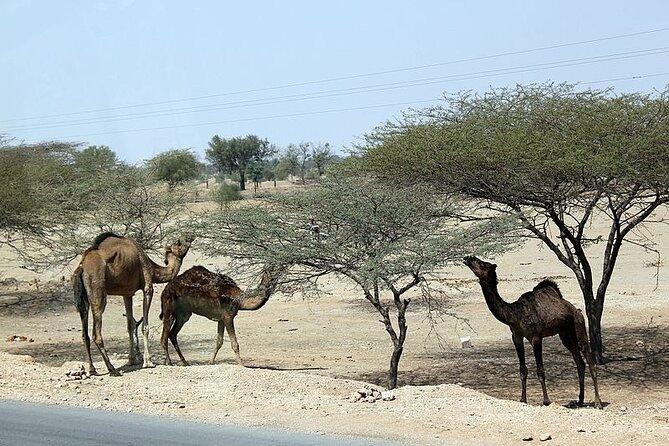 A Camel Safari with High Tea and Local Music