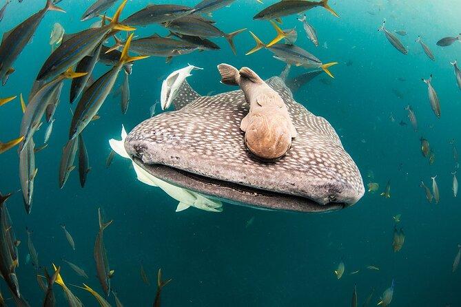 Whale Shark Bucket List Experience