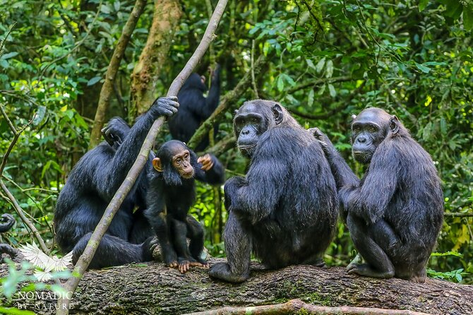 Located at Ngamba Island Sanctuary. It is an island sanctuary in Uganda, dedicated to the care of orphaned chimpanzees, that have been rescued by the Uganda Wildlife Authority.