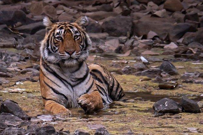 Jungle tour of Rajasthan with Tajmahal tour