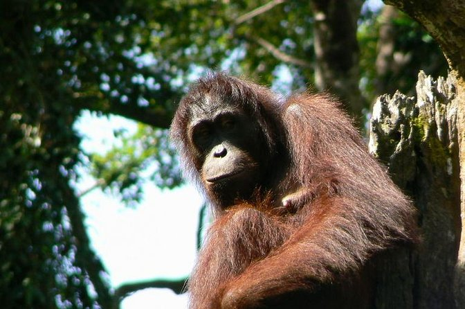 Sandakan Sepilok Orangutan Rehabilitation Centre