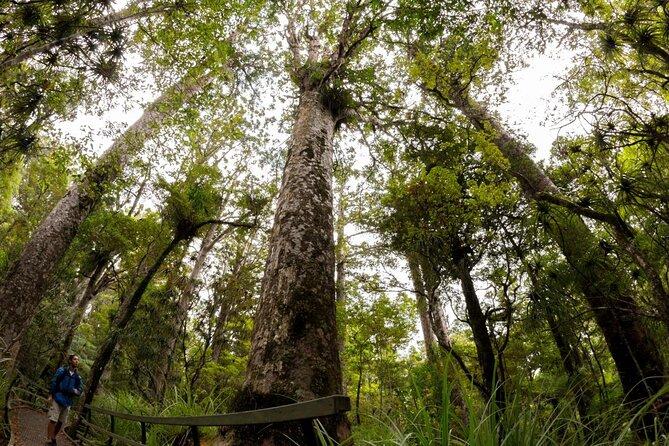 Puketi Forest (Puketi Kauri Forest)