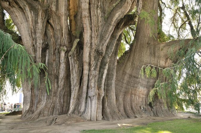 Tule Tree (Arbol del Tule)