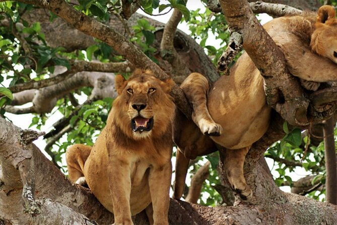 Tree climbing lions in Queen Elizabeth National park.