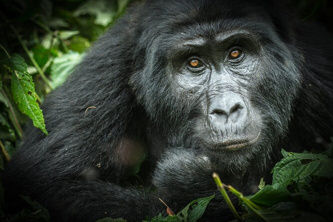 Mountain Gorilla at Bwindi impenetrable