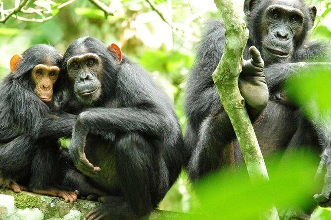 3 days Chimpanzee tracking at Kibale National Park