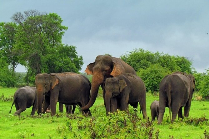 Game Drive Minneriya National Park : Private tour from Kandy