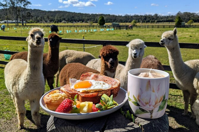 Breakfast with alpacas