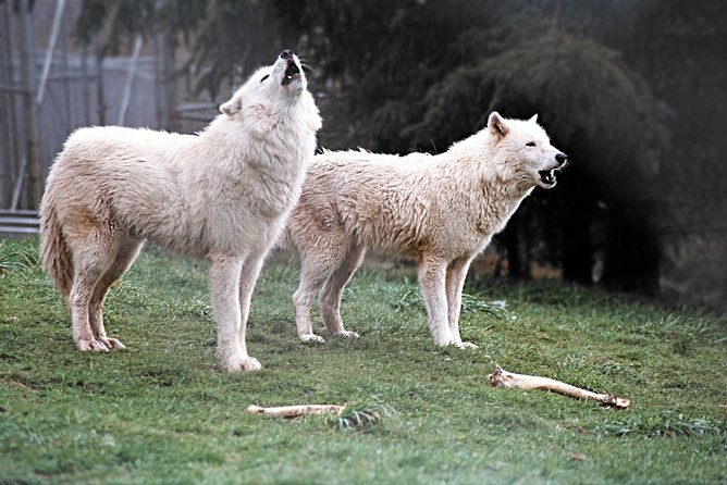 Wolf Experience