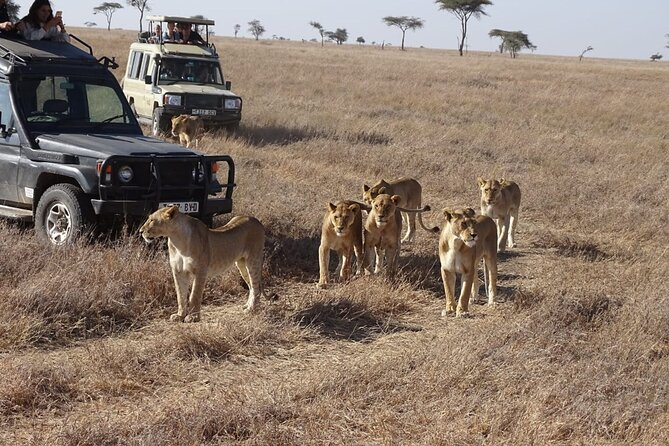 Lion pride infront of the jeep