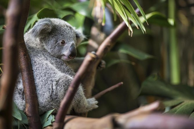 Jardins Kuranda Koala